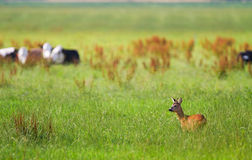 Roe buck and cattle Stock Images