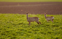 Roe buck couple Royalty Free Stock Image