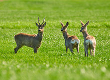 Roe buck and deer family Stock Images
