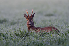 Roe buck in the field Stock Images