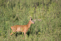Roe buck in high grass. Roe buck standing in high grass in summer time, profile of wild animal stock images