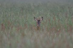 Roe buck look out of the high grass. Summer,  capreolus capreolus Royalty Free Stock Photo