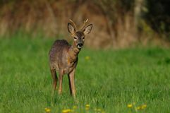 Roe buck on the meadow, spring. Capreolus capreolus Stock Images