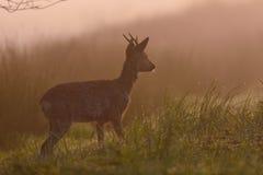 Roe buck in the morning fog, spring. Capreolus capreolus Stock Photo