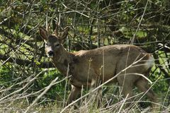 Roe buck in the rough Royalty Free Stock Photo