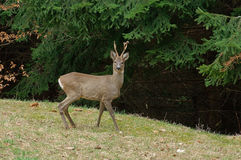 Roe buck in spring evening Stock Photo