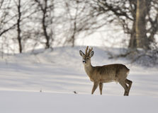 Roe buck in winter. A roe deer buck in the snow on a winter day Stock Image