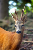 Roe Capreolus-capreolus stock foto's