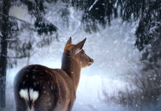 Roe-dear in winter forest Royalty Free Stock Photos