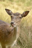 Roe deer 01. Young roe deer stick out one's tongue Stock Images