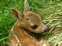 Roe deer. Cub royalty free stock photography