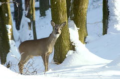 Free Roe Deer Royalty Free Stock Photography - 12238527