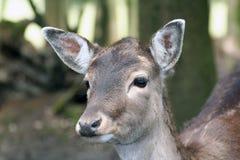 Roe Deer. Closeup of a roe deer's head royalty free stock images
