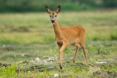 Free Roe Deer Stock Photography - 133821902