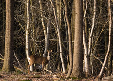 Roe deer. Stock Photo
