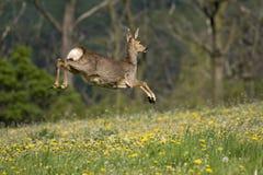 Roe deer. Jumping roe deer on a meadow Stock Photography