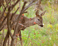 Roe Deer. A female roe deer approaching a garden warily Royalty Free Stock Photography