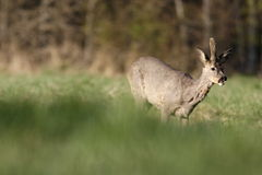 Roe deer. In the field Royalty Free Stock Photography