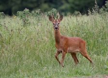 Roe Deer 2 Royalty Free Stock Photography
