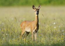 Roe Deer. Capreolus capreolus Doe in wildflower hay meadow Royalty Free Stock Image