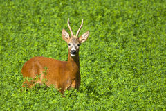 Roe deer. In the sunshine Royalty Free Stock Photo