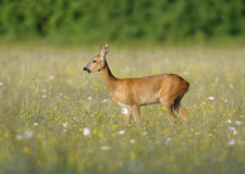 Roe Deer. Capreolus capreolus Doe in wildflower hay meadow Stock Images