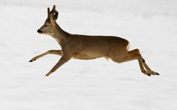 Roe Deer Royalty Free Stock Photo