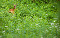 Roe deer Royalty Free Stock Image