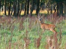 Roe deer. Alert Roe deer is looking where danger is coming from Stock Images