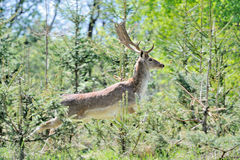 Roe deer Stock Photos