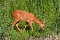Roe-deer Royalty Free Stock Photo