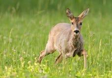 Roe deer. Female in field of clover Stock Photos