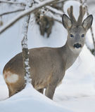 Roe deer. On the snow Royalty Free Stock Image