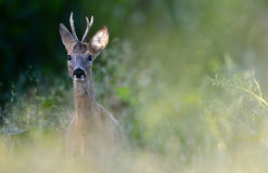 Roe deer. A male roe deer or a roe buck in the wild Stock Photography