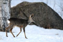 Roe-deer Stock Photo
