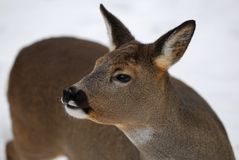 Roe-deer Royalty Free Stock Photography