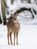 Roe-deer stock images