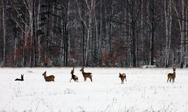 Roe deer Royalty Free Stock Images