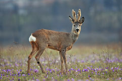 Free Roe Deer Royalty Free Stock Images - 40270339