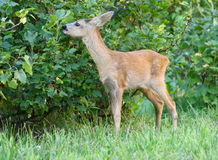 Roe deer. Royalty Free Stock Image