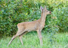 Roe deer. Stock Images