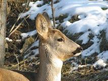 Roe Deer. A roe deer (Scientific Name : Capreolus) in a forest Royalty Free Stock Image