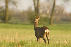 Roe Deer. Waiting for a couple of mates Stock Photo