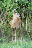 Roe deer. stock photos