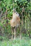 Roe deer. Stock Photos