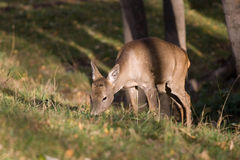 Roe deer. In the forest stock image