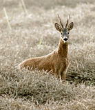 Roe Deer. Stag, pictured early morning in a scottish field royalty free stock photo