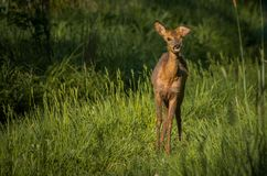 Roe deer after the accident stock image