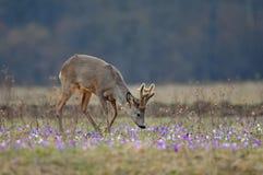 Roe deer amidst saffron Stock Image