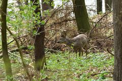 Roe deer with antler walking and grazing grass inside the forest. Young small roe deer with antler walking the meadow close up stock photography